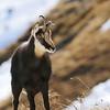 Quelle histoire porte donc de jeune chamois ? Chute, avalanche, bagarre ? Malgré tout, il est peu farouche.
