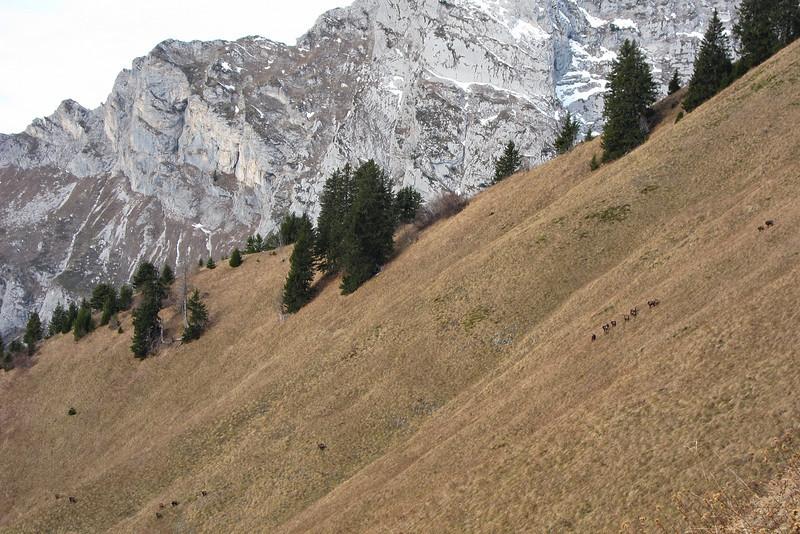 Troupe de chamois sur fond d'Arcalod.<br /> Dans les pentes sud de la Chèvrerie en descendant de Chaurionde.
