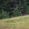 Pas évident de surprendre cet animal avant qu'il ne nous ai vu, qui plus est en pleine journée... cette après-midi là, le vent était avec moi !