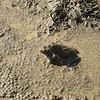 Orgie de grenouille rousse à Montsappey, des centaines de grenouilles bien occupées