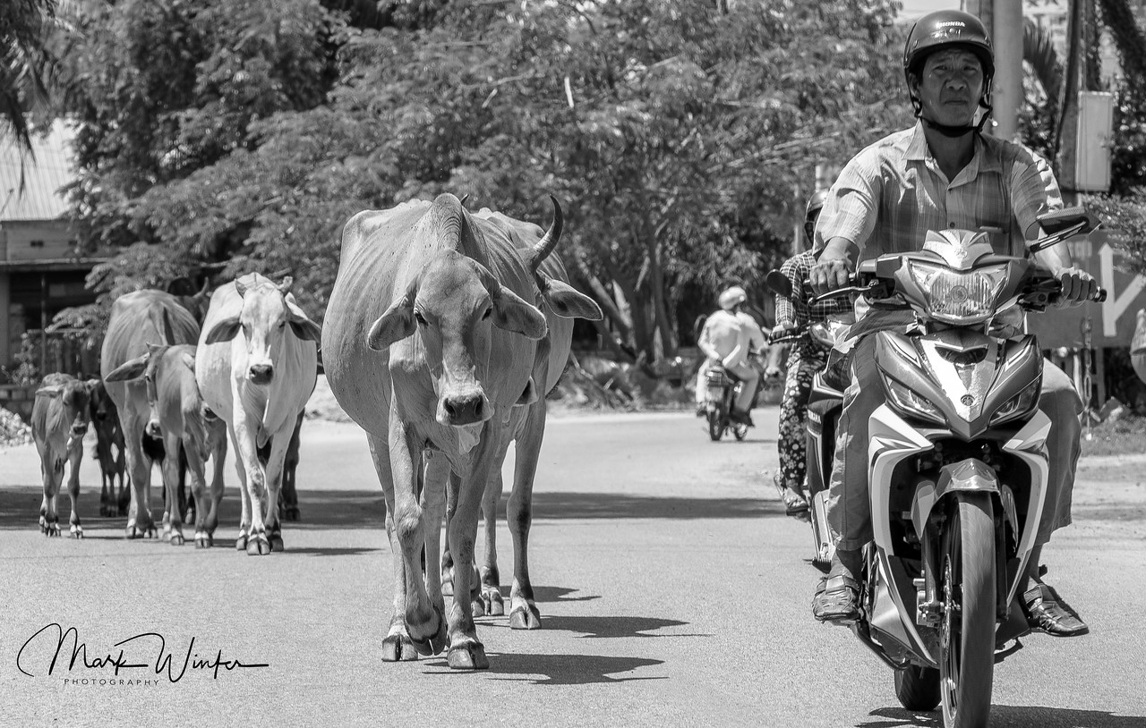 On the road to Phan Rang, its common to see people leading their cattle - water buffalo, goats, etc.