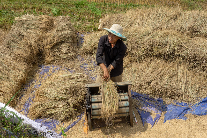 Man Harvesting Rice