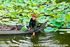 Tending the pond of lotus plants, Siem Reap, Cambodia.