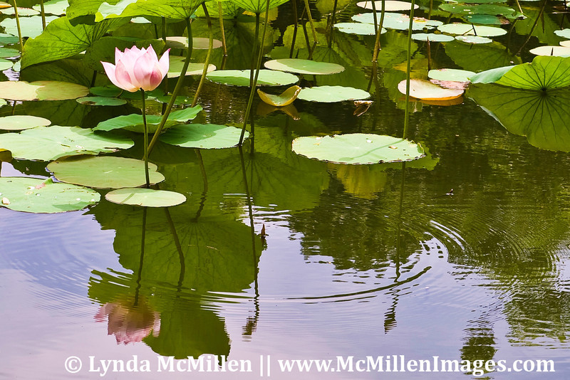 Lotus blossoms are the symbol of enlightenment.