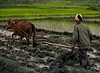 Work, Woman in a Rice Paddy