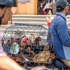 Roosters Heading to Market