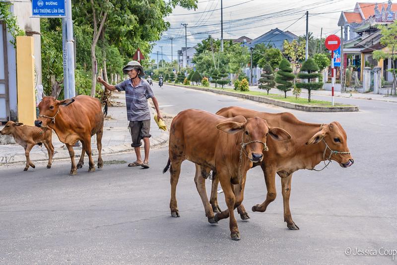 Cow Herder