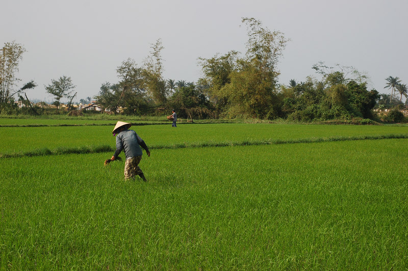A peasant working in the rice field.