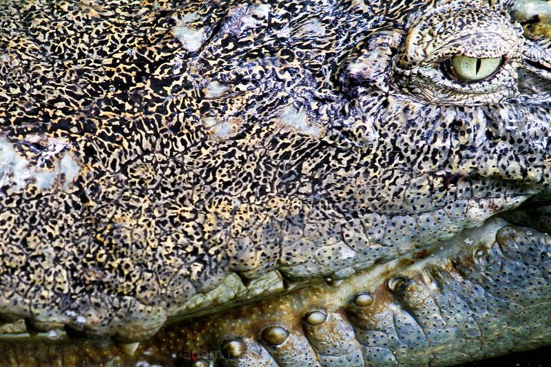SAIGON ZOO- Croc Close up 1