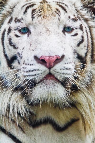 SAIGON ZOO - White Tiger 1