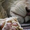 SAIGON ZOO- Lion Pause/Paws
