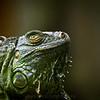 SAIGON ZOO - Iguana 2
