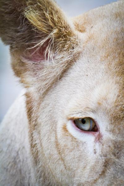 SAIGON ZOO - Young Lion