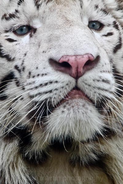 SAIGON ZOO - White Tiger 2