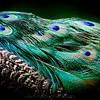 SAIGON ZOO - Peacock Feathers