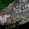 SAIGON ZOO - Croc Pure Menace