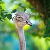 SAIGON ZOO - Ostrich Sleeping Standing