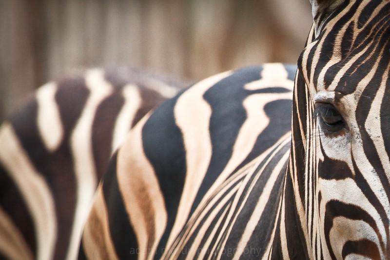 SAIGON ZOO- Zebra Eye