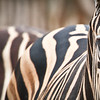 SAIGON ZOO- Zebra Eye
