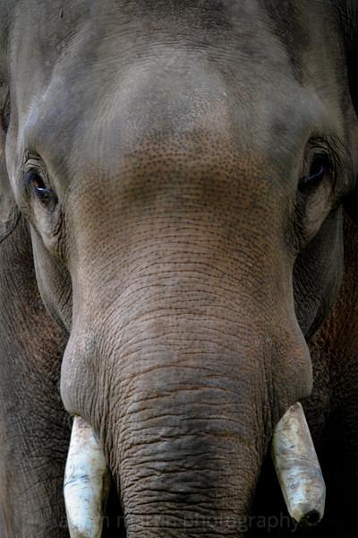 SAIGON ZOO-Elephant Head On
