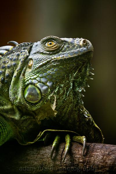 SAIGON ZOO - Iguana 1