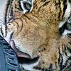 SAIGON ZOO - Tiger & Tyre