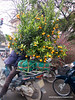 Man on a motorbike laden with orange trees in Hanoi, Vietnam in January 2012