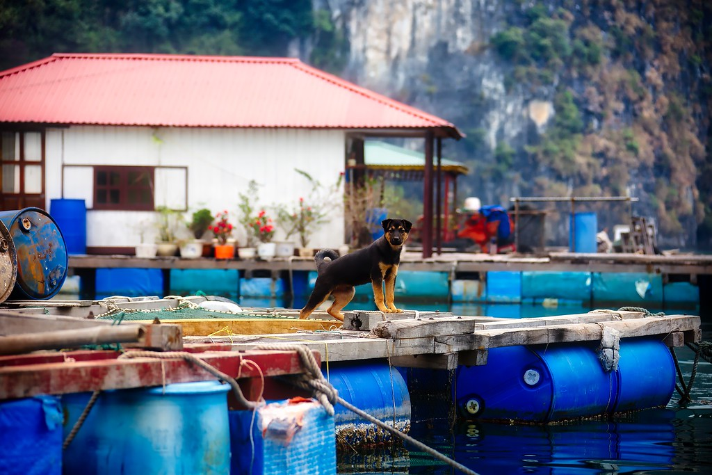 Fishing Village - Dog 004
