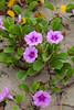 Morning glory flowers on the beach at Da Nang, Vietnam, Asia.