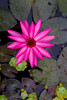 A lone water lily flower at a decorative pond at the Huong Giang Hotel in Hue, Vietnam, Asia.