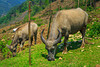 Water buffalo grazing in Cat Cat village near Sapa, Vietnam, Asia.