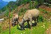 Water buffalo grazing in Cat Cat village near Sapa, Vietnam, Asia.