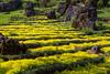 Terraced flower gardens on Ham Rong Mountain, Sapa, Vietnam, Asia.