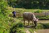 Working with a water buffalo in Ta Van village near Sapa, Vietnam, Asia.