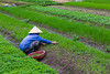 Workers in the rice fields in the countryside near Hanoi, Vietnam, Asia.