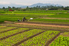 Workers in the rice and vegetable fields in the countryside near Hanoi, Vietnam, Asia.