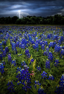 Striking Bluebonnets
