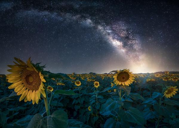 Sunflowers at Night