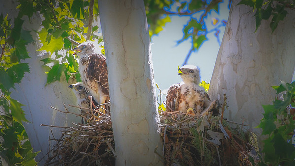 Red-shouldered Hawk and chicks taken at Landa Park in New Braunfels TX