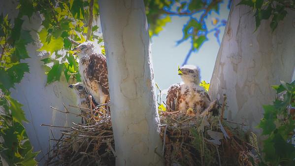 Red-shouldered Hawk and chicks taken at Landa Park in New Braunfels TX