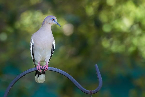 White-Winged Dove taken in Wendcrest Texas