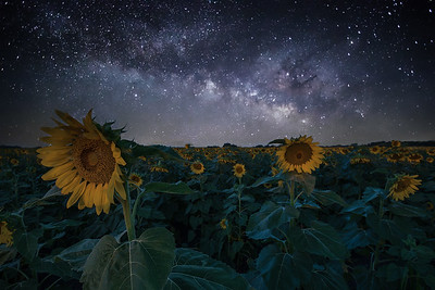 Sunflowers at Night