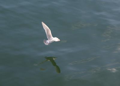 Gull in flight.