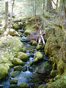 Forest stream in Cascades.