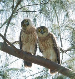 Owls, Darwin, Northern Territories, Australia