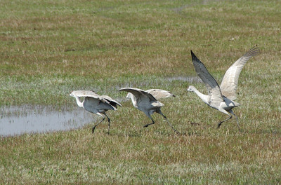 Geese taking off.