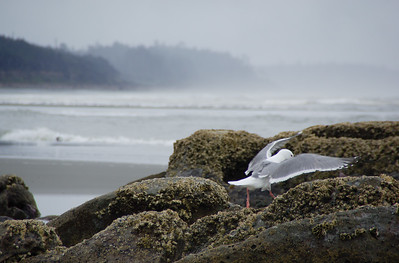 Gull at work on the Washington coast.