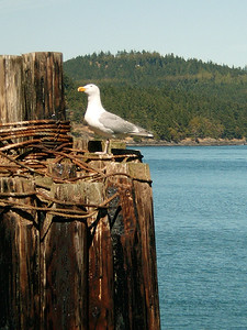 Seagull at ferry dock