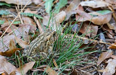 Frog in Kiptopeke State Park