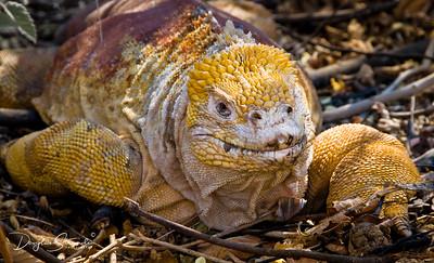 Land Iguana at Urvina Bay, Isabela